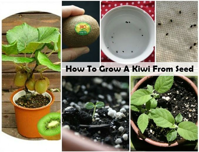 How To Grow A Kiwi From Seed One of my favorite fruits to eat is kiwi and has an amazing taste and you can make some really healthy recipes using them such as desserts and salads. They are also very...