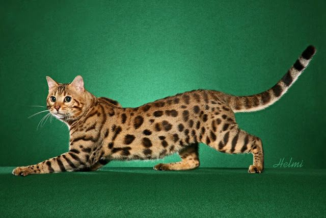 Bengal Cats - #bengalcat - See more stunning picture od Bengal Cat Breeds at Catsincare.com!