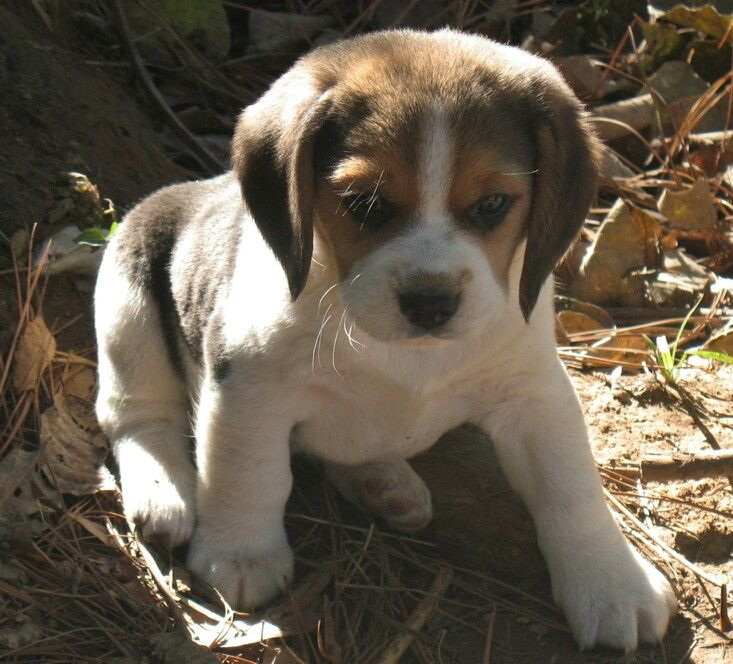 Beagle Puppy Beagle Puppy Animals Beautiful Dogs And Puppies