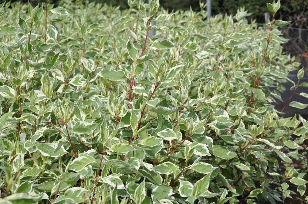 cornus alba 39 elegantissima 39 solomon olive entry garden pinterest plants dogwood shrub. Black Bedroom Furniture Sets. Home Design Ideas