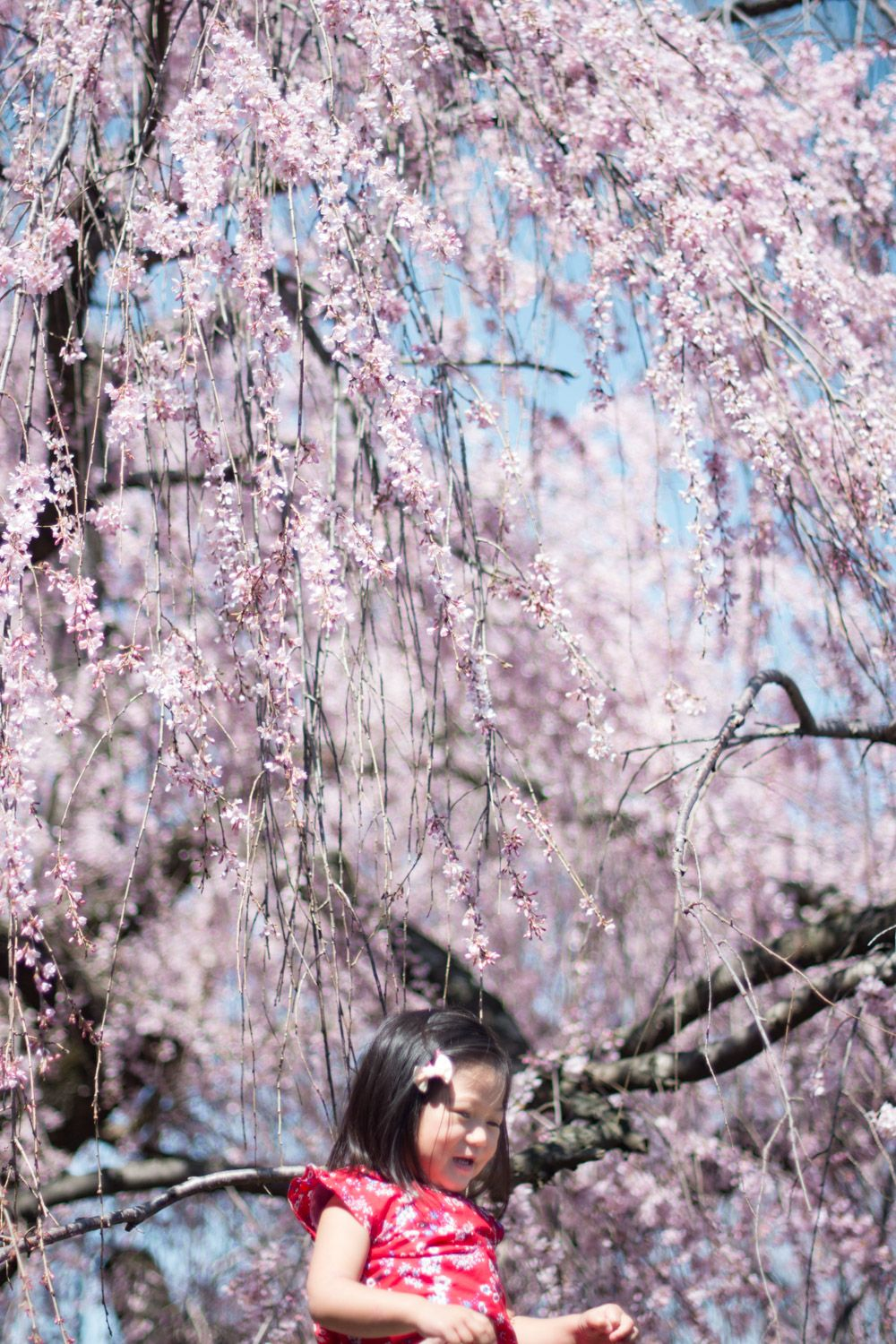 5 Secret Places To See Cherry Blossoms In Dc That Are Tourist Free 2021 Cherry Blossom Dc Cherry Blossom Washington Dc Blossom