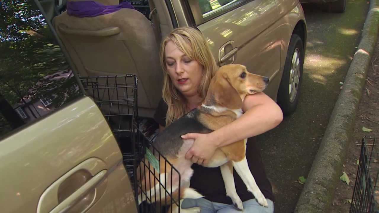 Group Rescues Laboratory Dogs Beagle Freedom Project Dogs Rescue