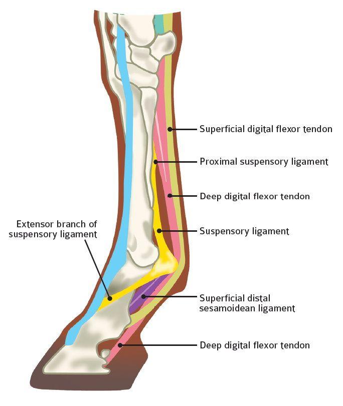 Horse Care Equine Health Suspensory Ligament Injury Lameness | Horse ...