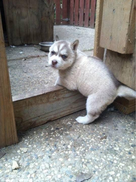 Good Alaskan Malamute Chubby Adorable Dog - 96c8d4707fd35c95be40ab77cdfb4420  Trends_145117  .jpg