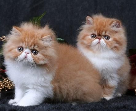 Orange & White persian kittens. They look like my baby!