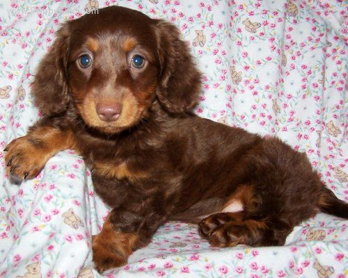 Baby Chocolate Longhaired Miniature Dachshund Dachshund Love