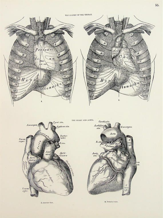 Anatomy Of The Chest Thorax Heart Liver Stomach 1880s Antique