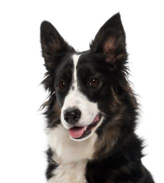 Our Favorite Border Collie Products Border Collie Collie Border Collie Dog