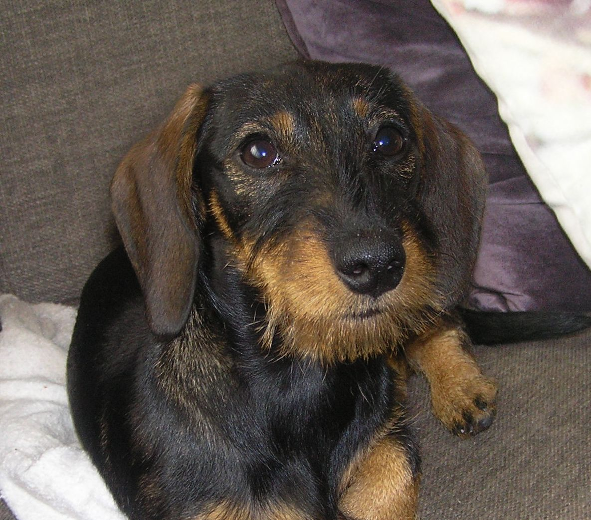Pin by Gwyn's World on Wiener Dogs (With images) Wire