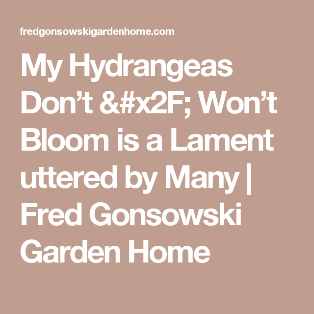 Mophead Hydrangea Wont Bloom: My Hydrangeas Don't / Won't Bloom Is A Lament Uttered By