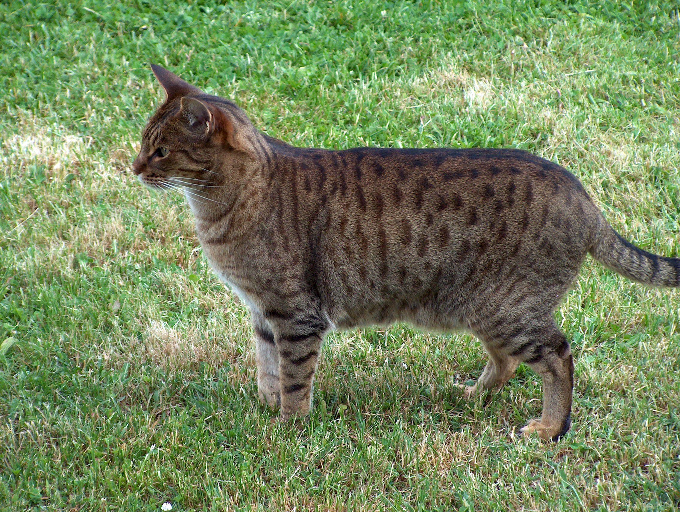 Pin on Ocicat Cat Breed