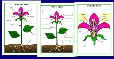 simple diagram of a plant for kids | science for kids