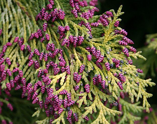 Ornamental Conifers Flowers Conifers Nature Tree