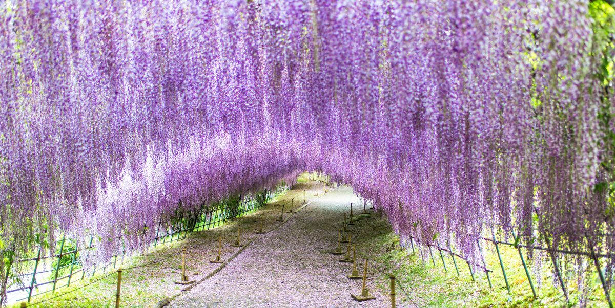This Wisteria Flower Tunnel In Japan Is The Most Magical Place Ever Wisteria Tunnel Wisteria Wisteria Tree