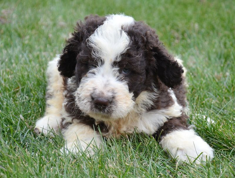 Newfypoo puppies up for adoption! newfiedoodle