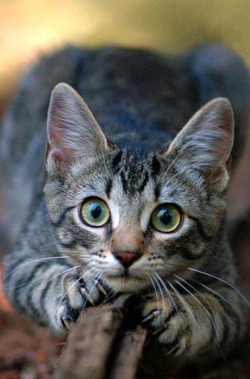 Tigerpelt She Cat Cute Cats Tabby Kitten Pretty Cats