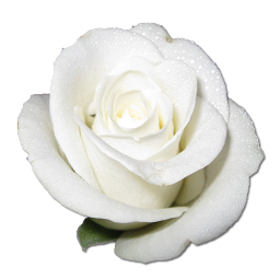 White Rose Clipart png format 3 - 256 X 256   Dumielauxepices.net   White flower png, Rose ...