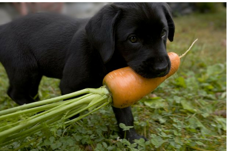 Guide to Feeding Puppy Carrots in 2020 Feeding puppy