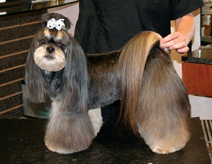 Asian Style Lhasa Groomer To Groomer Pet Grooming News Stories
