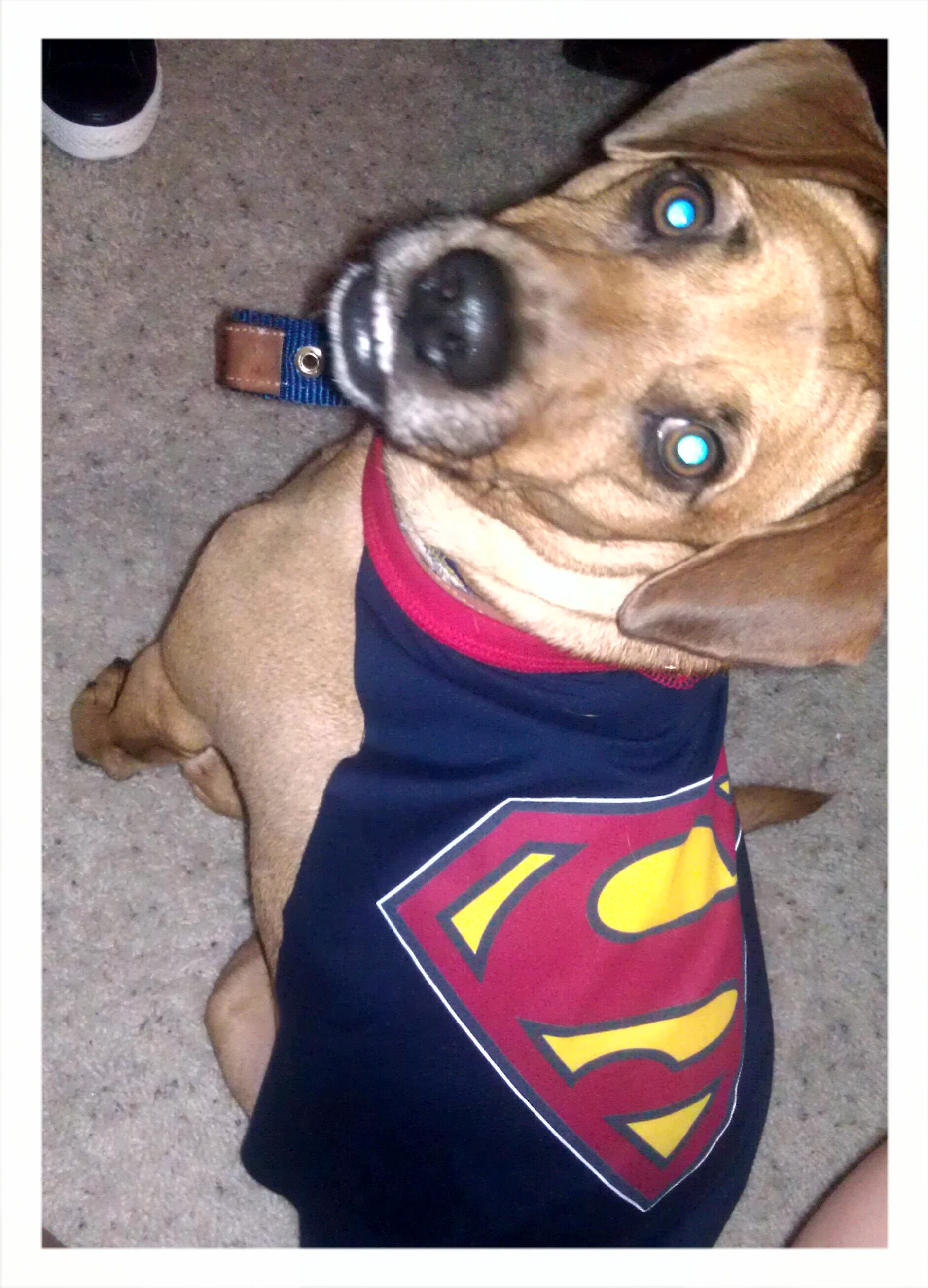 Made my dog a cape for his Petsmart graduation tomorrow. Cost: $5. Time: 10 minutes. I love my dog!