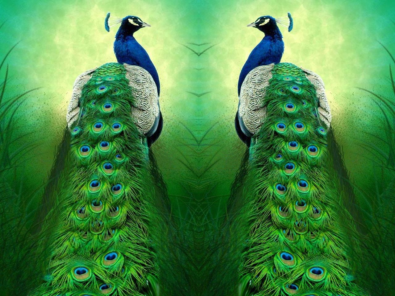 peacocks | Pictures, peacocks, beautiful pictures and wallpaper, change desk