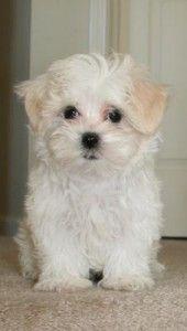 Maltese X Shih Tzu Pets Shih Tzu Puppies Dogs
