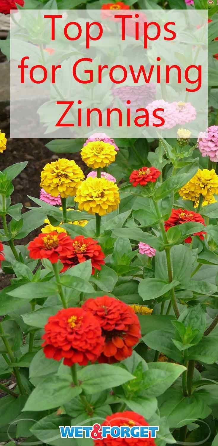 Flower spotlight worry free zinnias bring a rainbow to your garden add beautiful colors to your garden with zinnias learn about the different types of zinnias and how to grow them izmirmasajfo