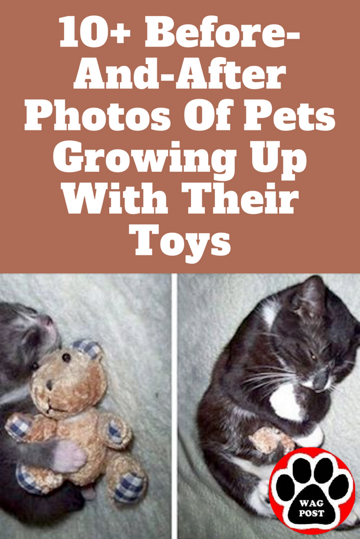 10 Before And After Photos Of Pets Growing Up With Their Toys Pets Dog Cat Cats
