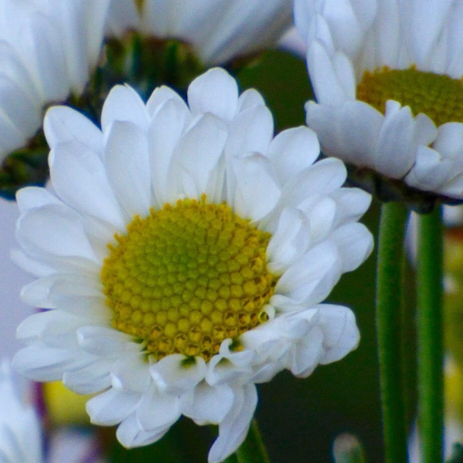 Daisy plants mustknowmonday there are many types of daisies daisy plants mustknowmonday there are many types of daisies but did izmirmasajfo