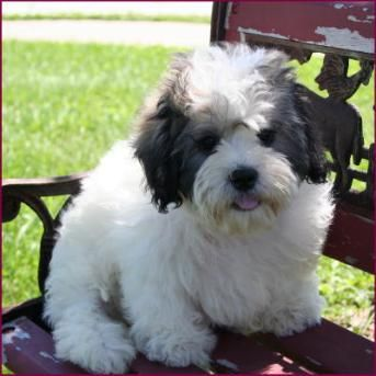Shichon Puppy 4 Sale Cross Mixed Breed Puppies Mixed Breed Puppies Shichon Puppies Teddy Bear Dog