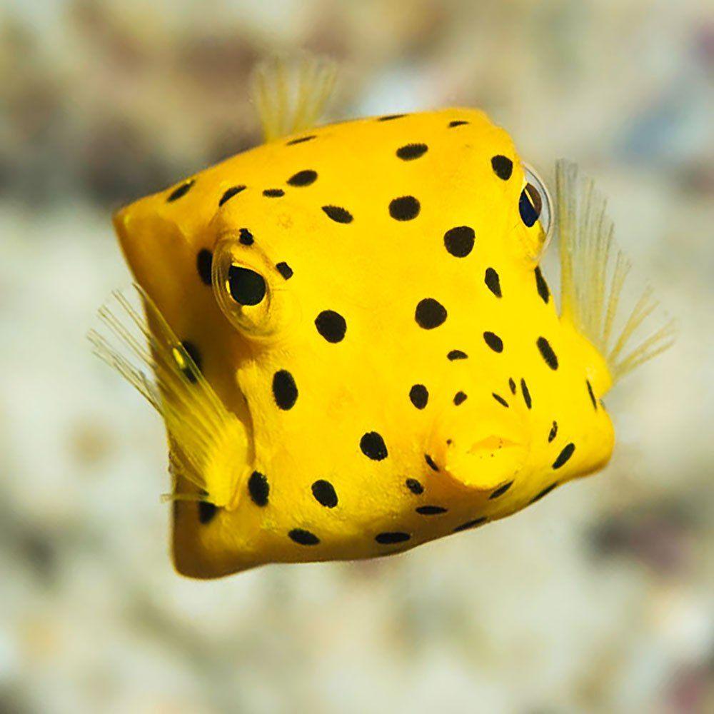 Yellow Box Fish Aqua Blue Realm Yellow Fish Yellow Animals Marine Animals
