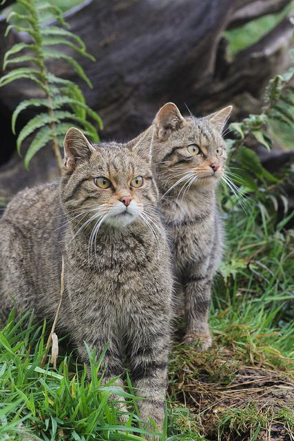 ❧ Wild cats - Les félins ❧ Scottish wild cats