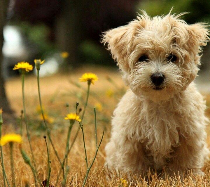 Cute Little Poochie Bear Dog Breed Cute Puppy Wallpaper Teddy Bear Dog