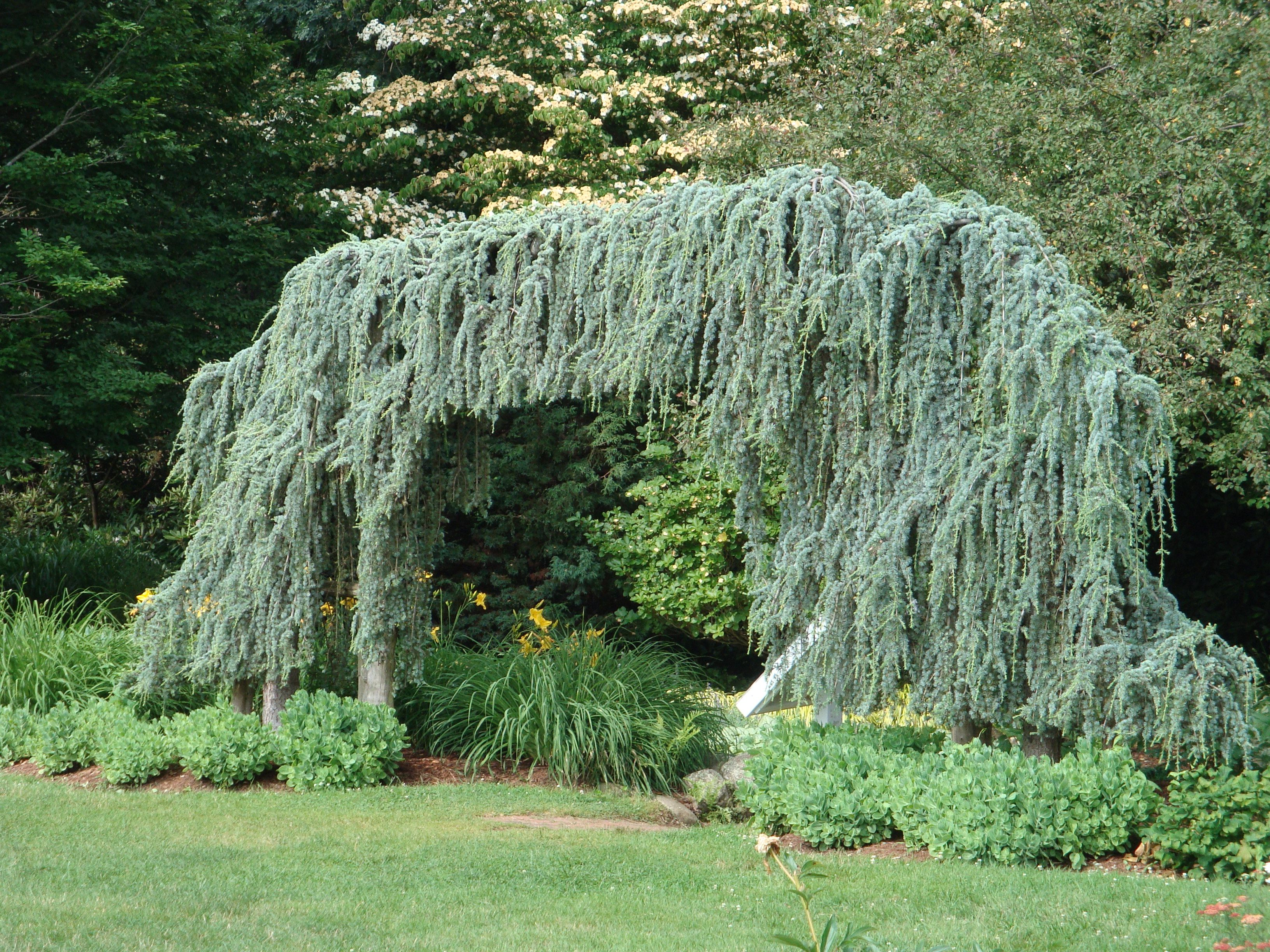 Striped weeping s edge