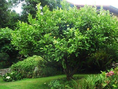 Poda Tus árboles De Cítricos Fácilmente Arboles Para Jardin Jardines Vivero De Plantas