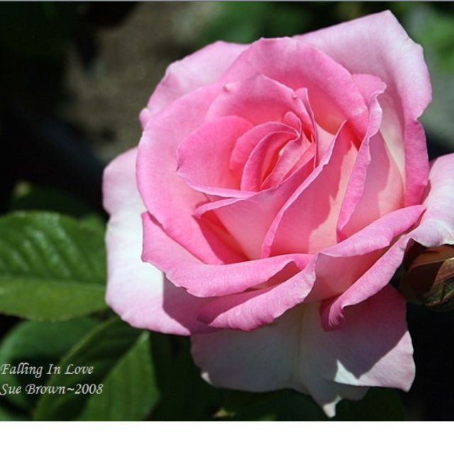 Falling In Love Rose I Have A Tree Form Of This One And