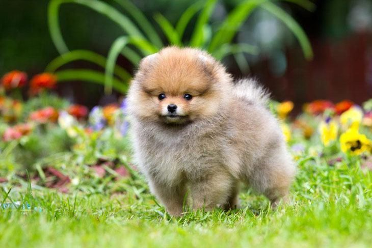 #Pomeranian #pup looking for #doggie adventure...Click here to see this cutie>>> http://www.fundogpics.com/pomeranian-pics.html