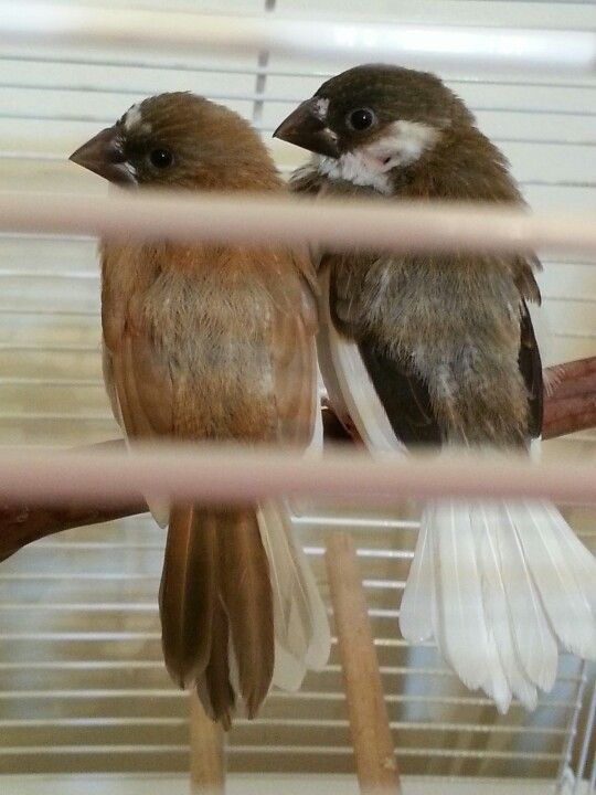 I got these finch birds for my bday! :) Their names are Milk Chocolate (Milk-cho) and Dark Chocolate (Dark-cho) :)