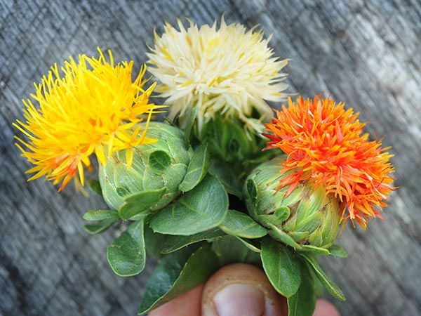Creamy ivory lemon yellow and bright saffron orange thistle like creamy ivory lemon yellow and bright saffron orange thistle like flowers atop prickly plants individual blooms are small but produced in great numbers mightylinksfo