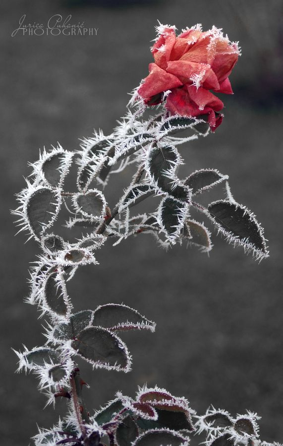 e624e3c23ad frozen beauty by jurica puhanic, via 500px | Natures lace and ...