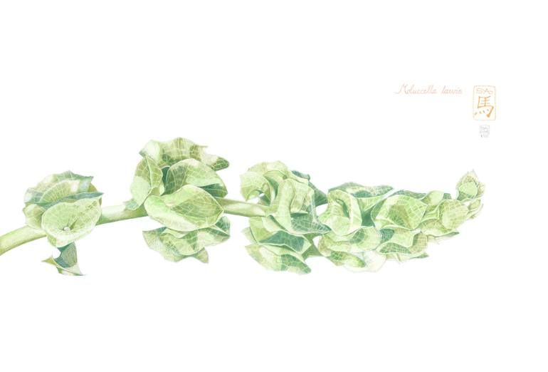Image Result For Bells Of Ireland Drawing Botanical Prints Contemporary Botanical Art Drawings