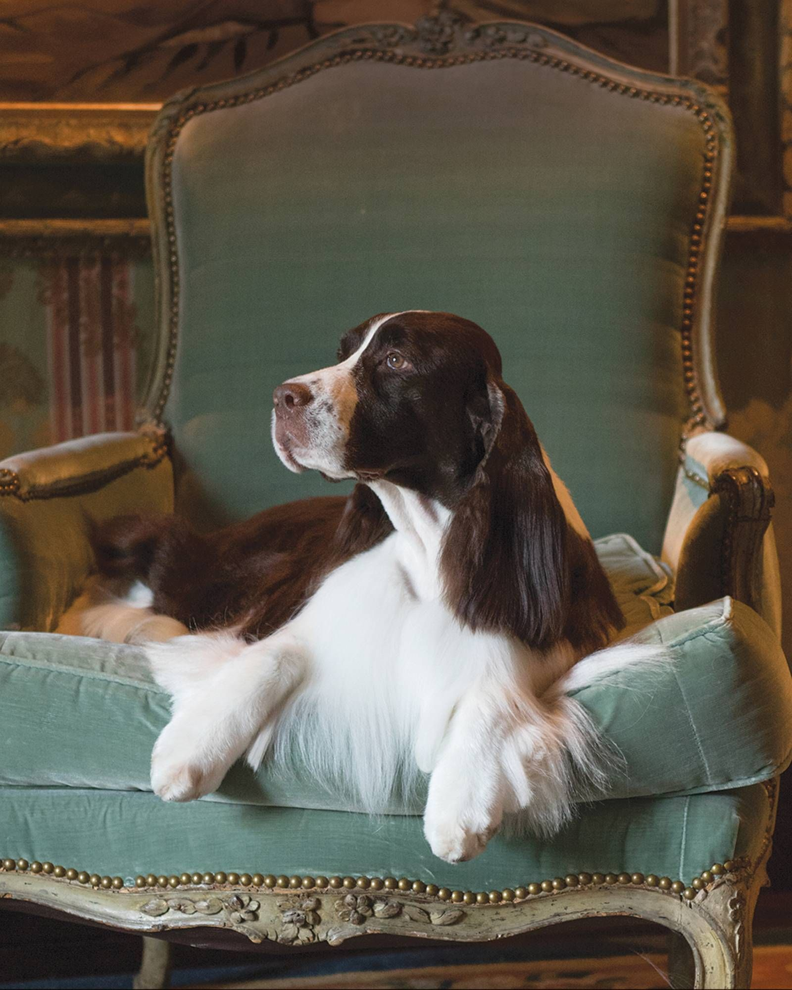 The National Dog Show S Top 3 Dogs To Watch National Dog Show Dog Show Springer Spaniel