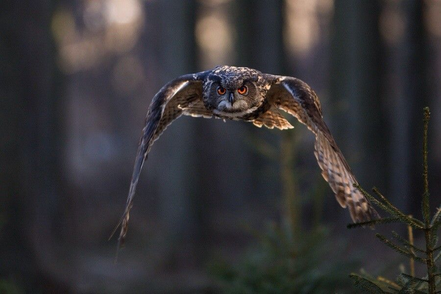 Eagle owl by Helena Kuchynková on 500px