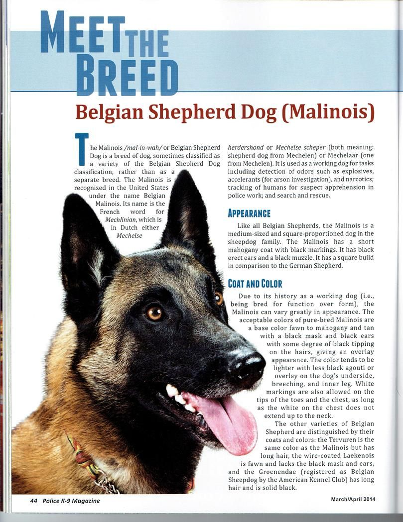 Belgian Malinois for sale at Cher Car Kennels Malinois