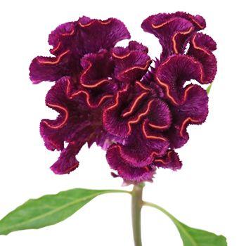 Mulberry Velvet Celosia Flowers Fiftyflowers Com Types Of Flowers Velvet Flowers Flowers
