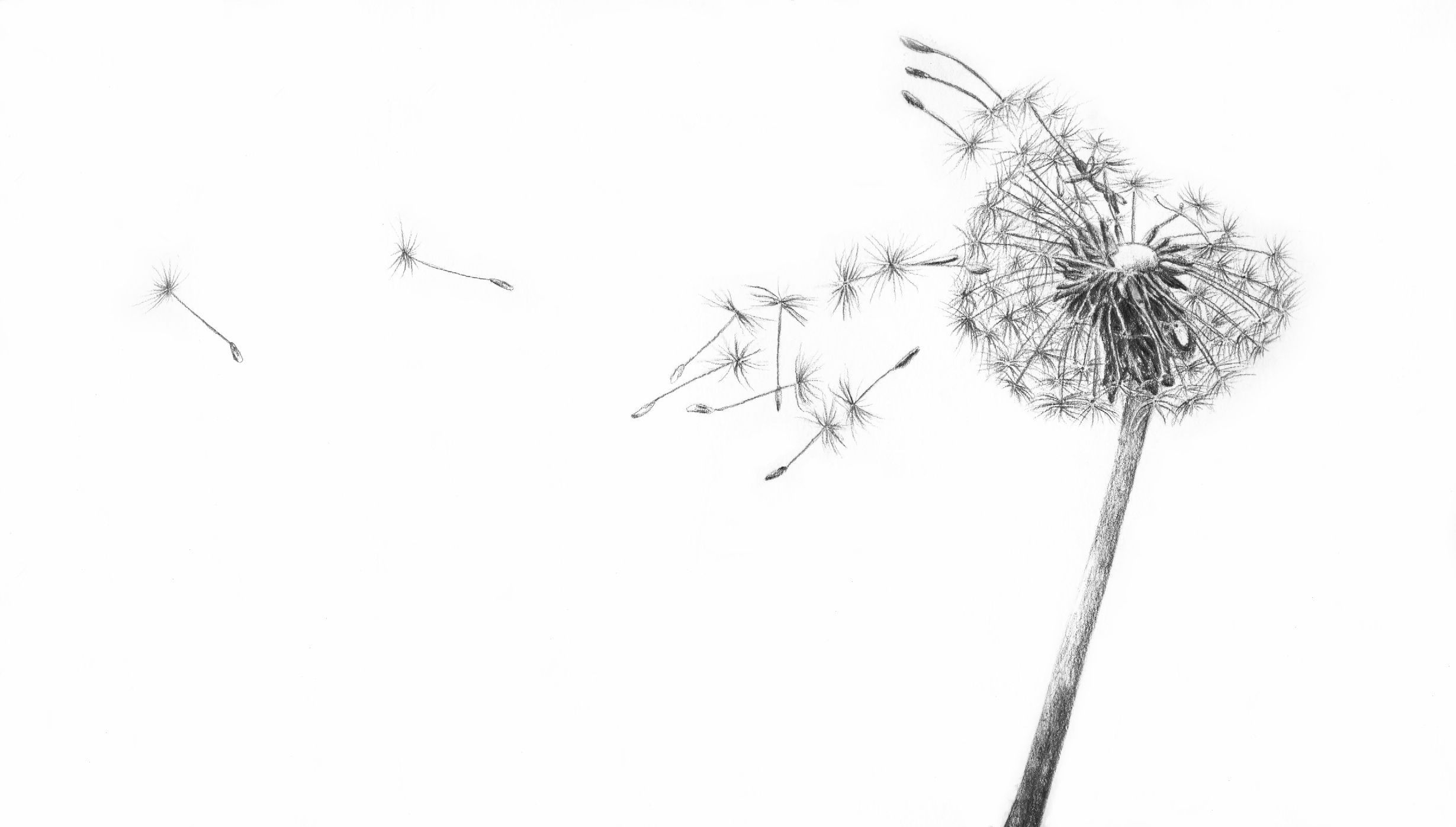 Related Image Dandelion Drawing Flower Sketches Dandelion