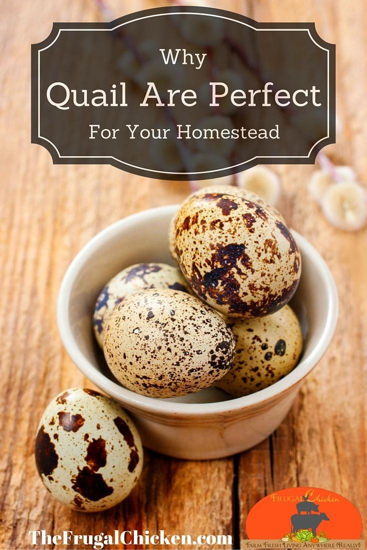 raising quail is for every homestead video tutorial raising