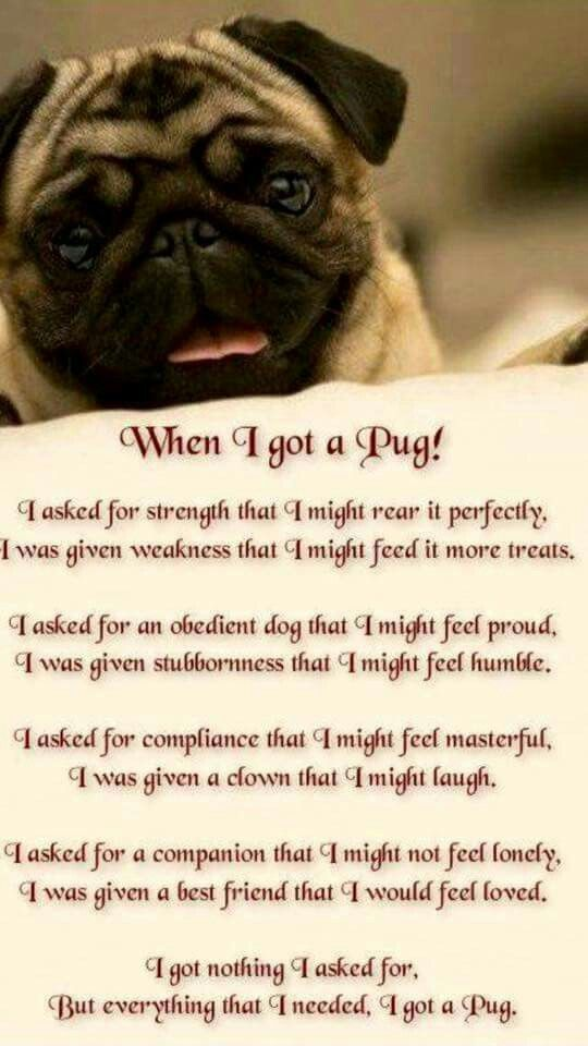 When I Got A Pug With Images Pug Quotes Pugs Pugs Funny
