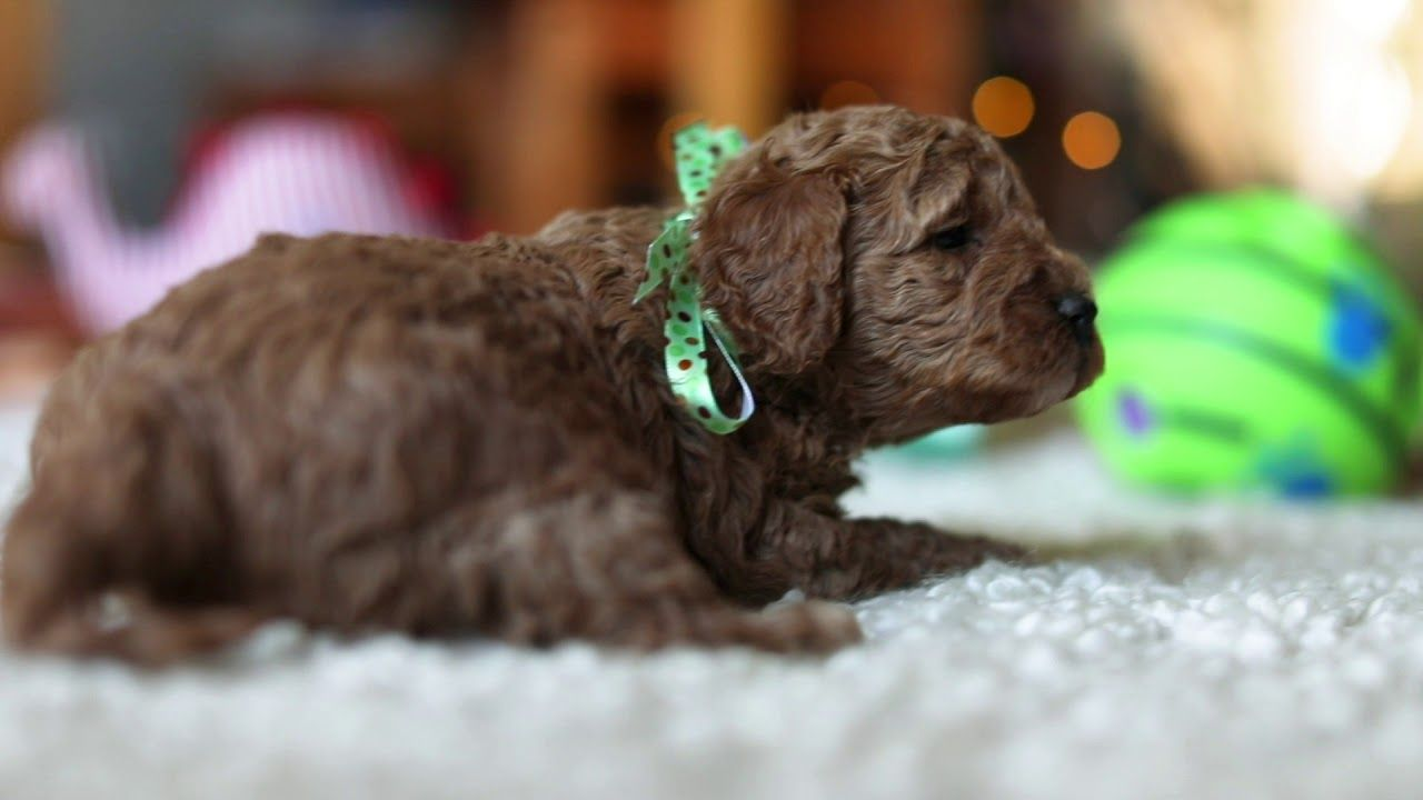 Cavoodle Puppy Red Cavapoo Boy 3 4 Weeks Old With Images Cavapoo Puppies Puppies For Sale