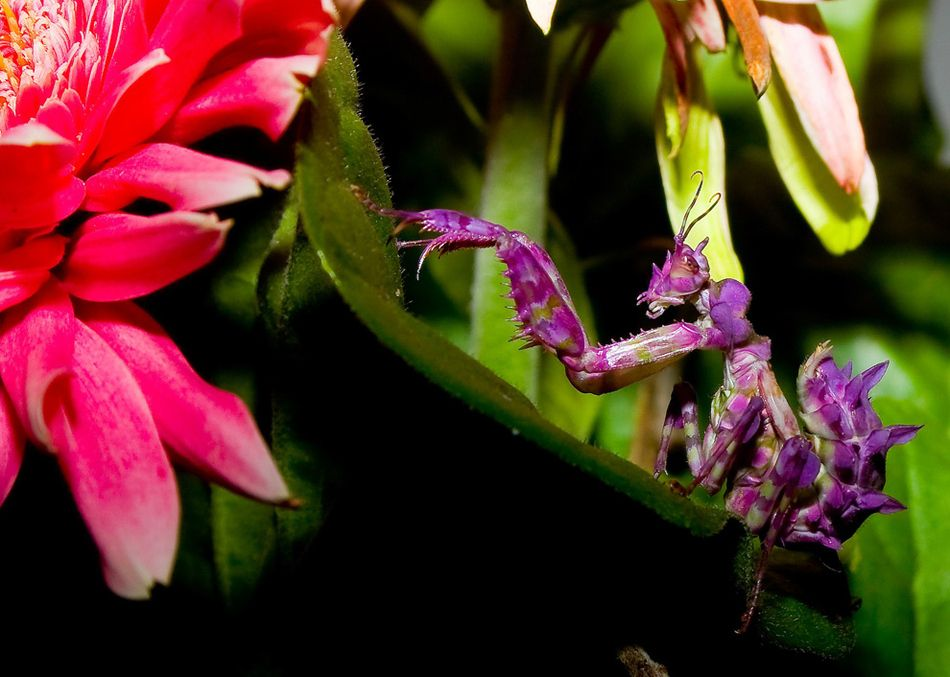 Colorful praying mantis orchid mantis national